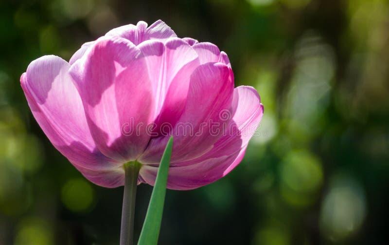 purpur tulpan fotografering för bildbyråer