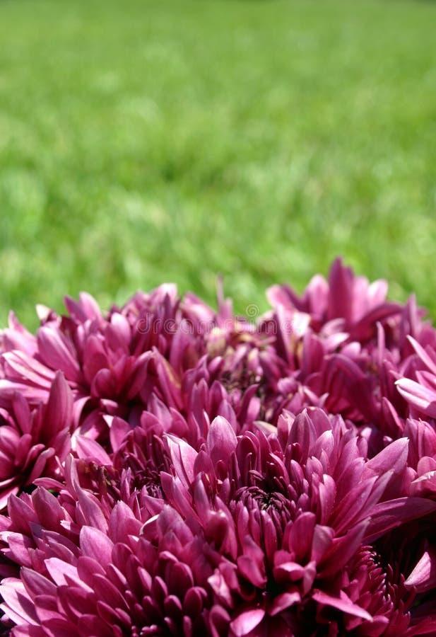 Purpur u. Grün stockfotos