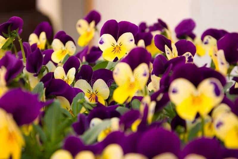 Purpur und gelbe kleine Blumen lizenzfreies stockfoto