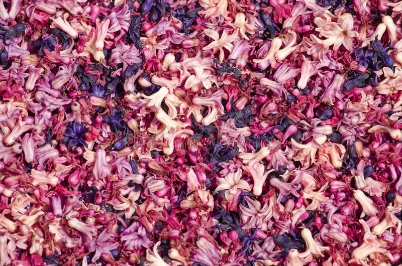 Purpur und rosa Hyazinthenblumenblätter lizenzfreie stockfotografie