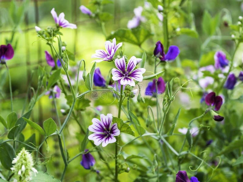 Purpur- und wei?estockrosemalve, die im Garten bl?ht stockfoto