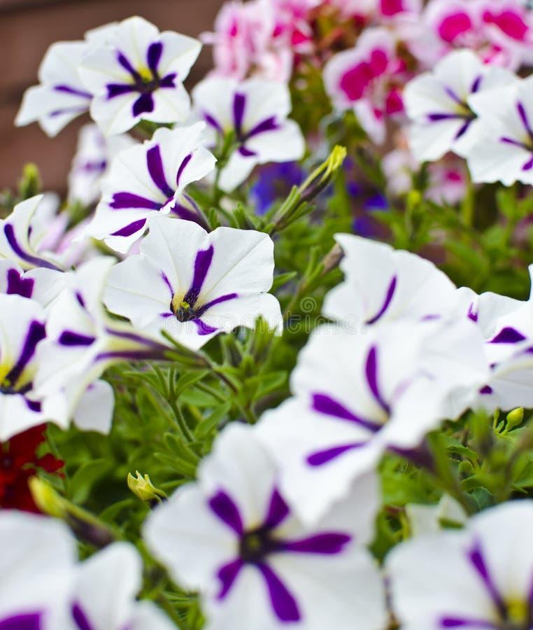 purpur white för pansies arkivfoto