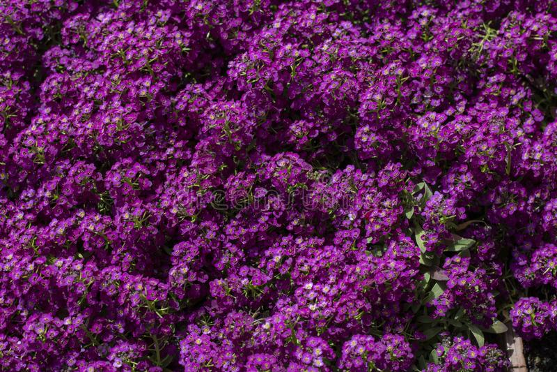 purpura blommaleaves arkivbilder