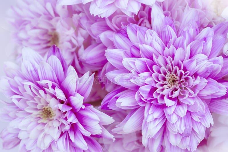 purpura chrysanthemums royaltyfria bilder