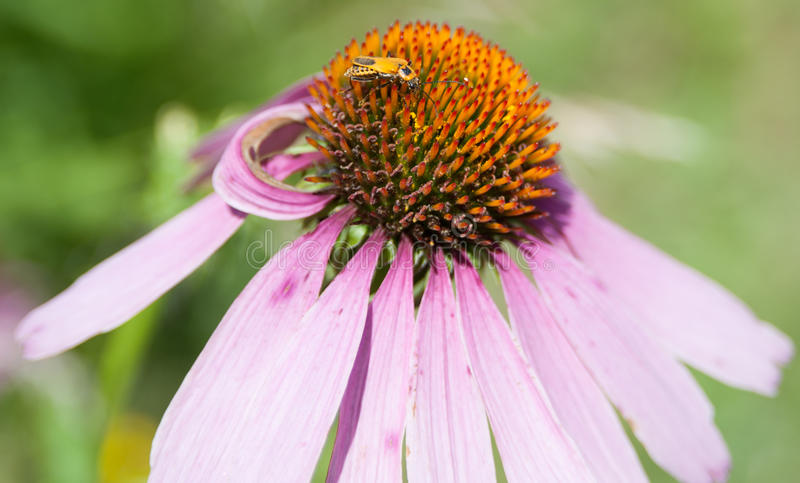 Purpura Coneflower royaltyfria foton