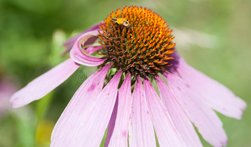 Purpura Coneflower royaltyfri bild