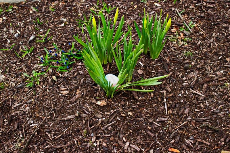 Purpura farbujący Wielkanocny jajko chujący w wiązce daffodil strzela w wiosna midwestern ogródzie obraz royalty free