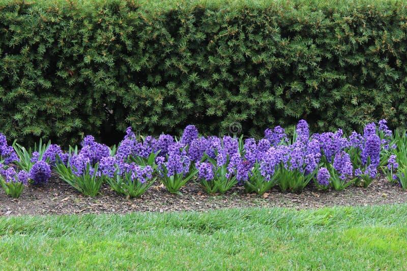 purpura hyacint royaltyfri foto