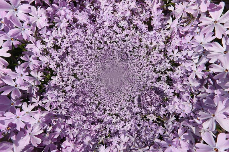 Purpura kwiat Funnell obraz royalty free