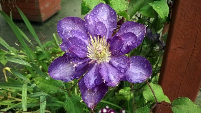 Purpura kwiat w deszczowym dniu fotografia royalty free