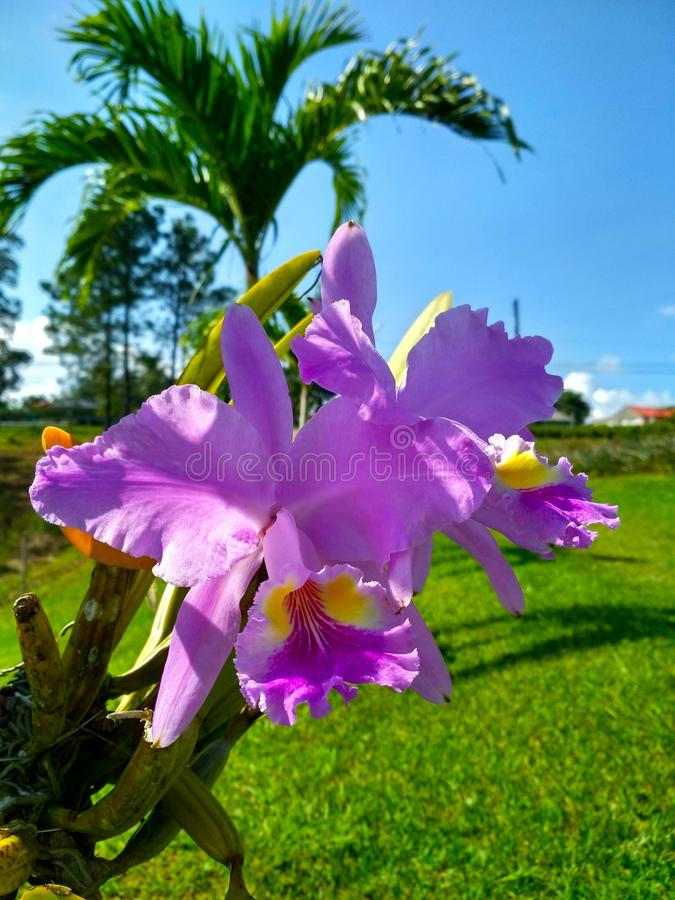 Purpura kwiat w Kuba obraz stock