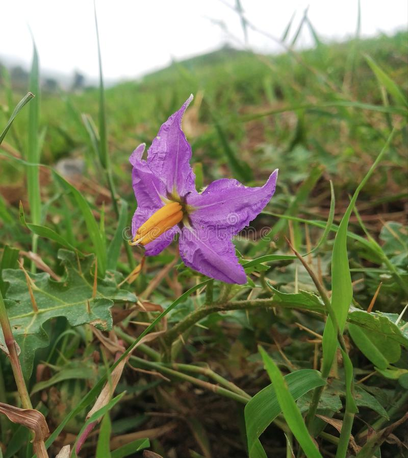 Purpura kwiat w ogrodowej i zielonej trawie obraz royalty free