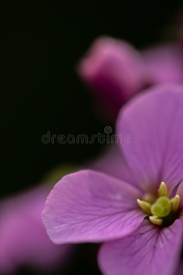 Purpura kwiat z ciemnym tłem zdjęcie stock