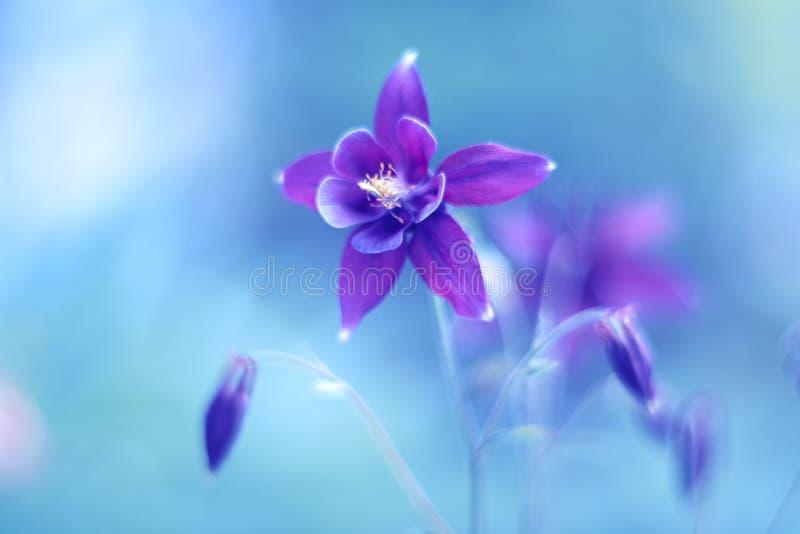 Purpura kwiatu aquilegia na błękitnym tle Piękny kwiat z pastelowymi cieniami miękkie ogniska, Sztuka wizerunek obraz stock
