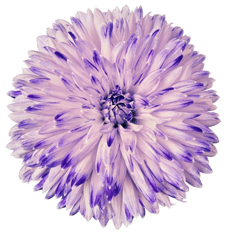 Purpura kwiatu dalia odizolowywająca na białym tle Dla projekta zbliżenie Jasna ostrość obraz stock