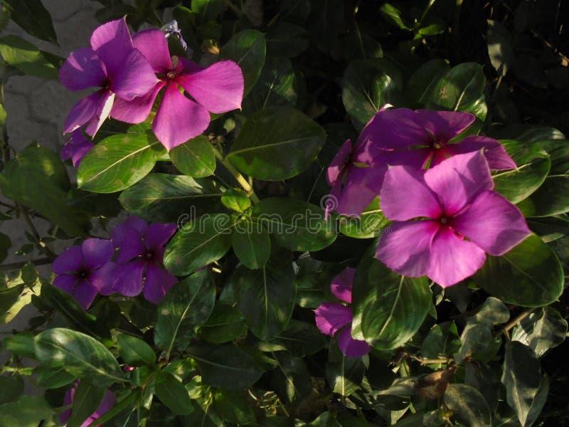 Purpura kwiatu roślina zdjęcia stock