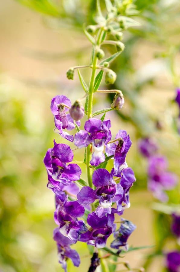 Purpura kwiaty lub zapominają ja kwiaty Sakonnakhon, Zapominają ja nie Tajlandia obraz royalty free