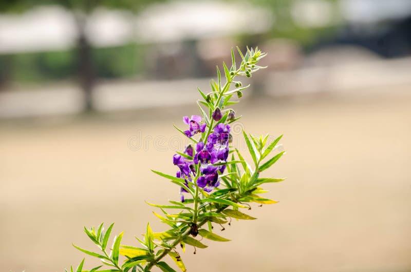 Purpura kwiaty lub zapominają ja kwiaty Sakonnakhon, Zapomina ja nie Tajlandia fotografia royalty free