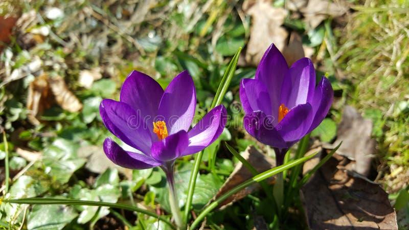 Purpura kwiaty - wiosna zdjęcie royalty free