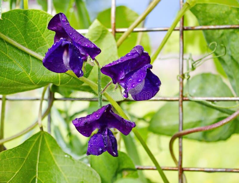 Purpura kwitnie świeżych słodkich grochy obraz stock