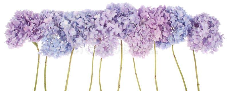 Purpura kwitnie hortensi (ścinek ścieżka) obrazy stock