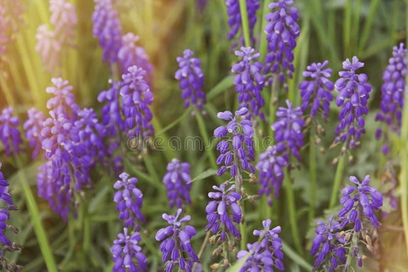 Purpura kwitnie lavander z bocznym płonącym słońcem zdjęcie stock