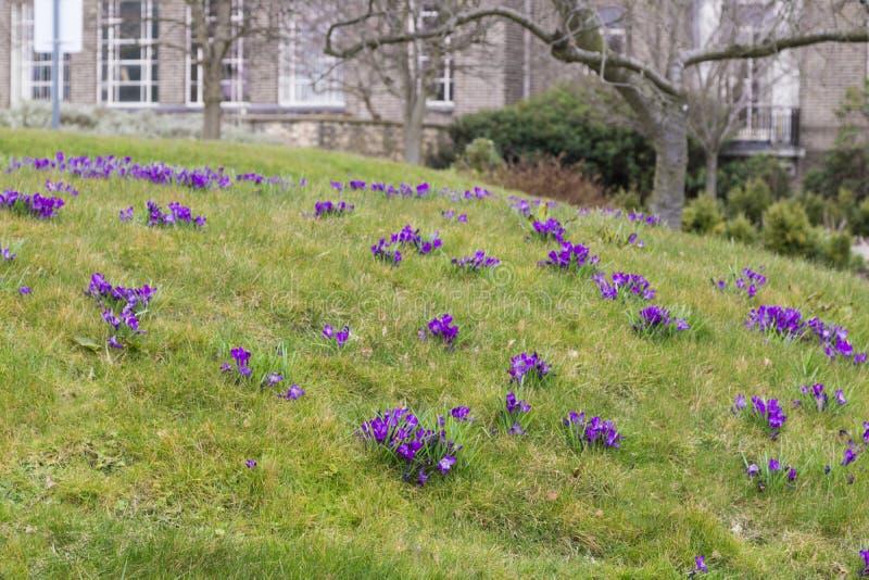 Purpura kwitnie na banku zdjęcia stock