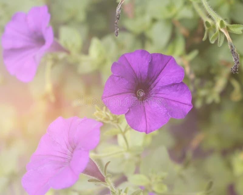 Purpura kwitnie na zielonym tle zdjęcie royalty free