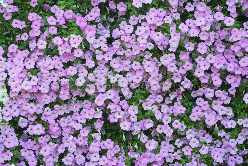 Purpura kwitnie tło, Purpurowe petuni grupy przy ogródem zdjęcie stock
