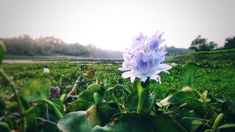 Purpura Kwitnie w brzeg rzeki zdjęcie stock