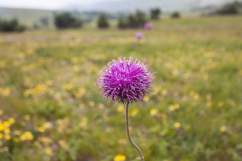 Purpura kwitnie w dzikiej naturze fotografia stock