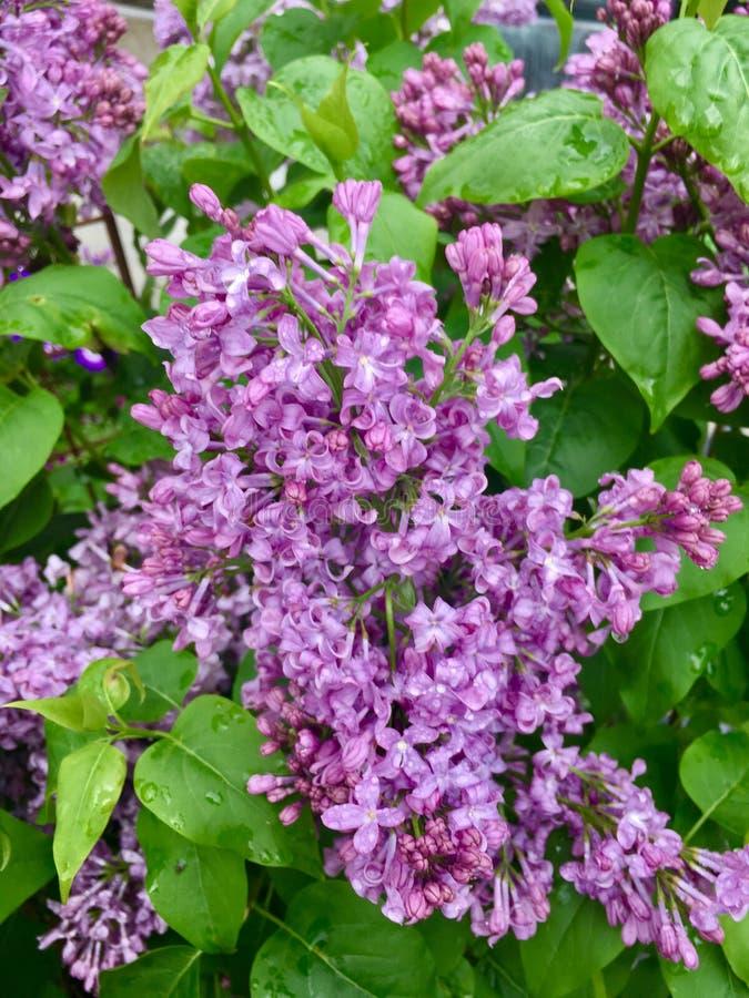 purpura lilor royaltyfria bilder