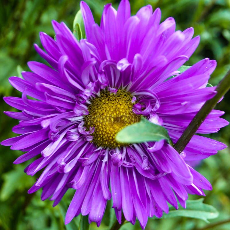 Purpura ogródu kwiat, dom Kwiaty perple zdjęcia royalty free