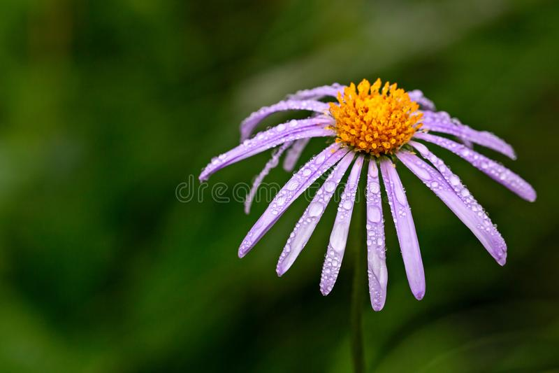 Purpura ogrodowy aster fotografia stock
