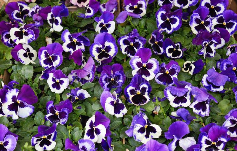 Purpura Pansyblommor arkivfoton