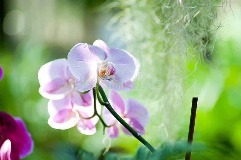 Purpura różowy storczykowy kwiat w kwiatu backlight zdjęcie royalty free