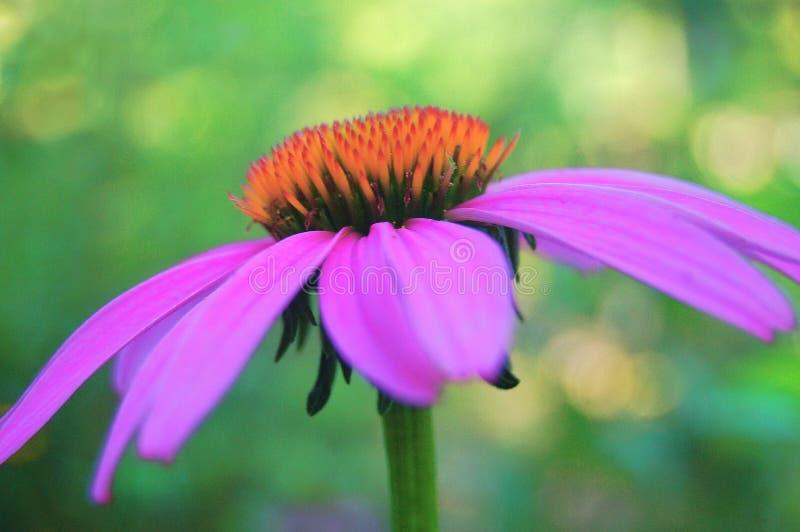 Purpura rożka kwiatu szczegół fotografia royalty free