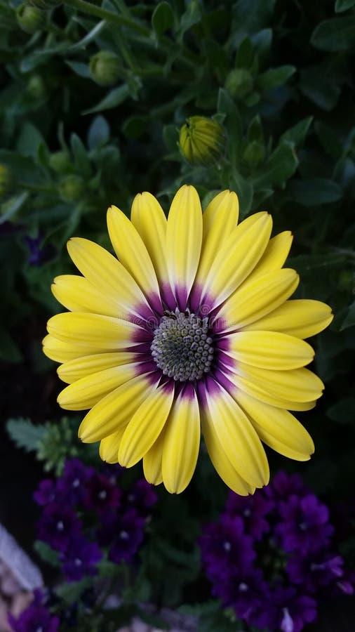 Purpura szok zdjęcie royalty free