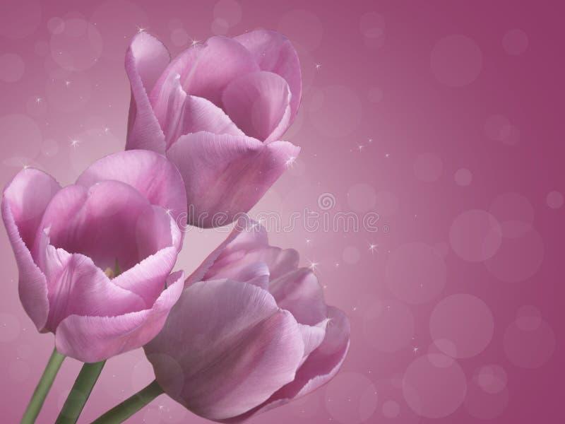 purpura tulpan fotografering för bildbyråer