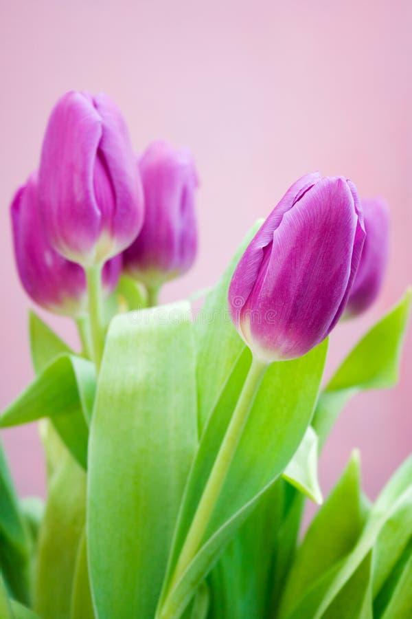 purpura tulpan arkivfoto