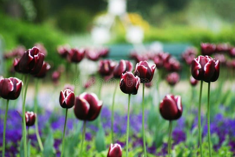purpura tulpan royaltyfria foton