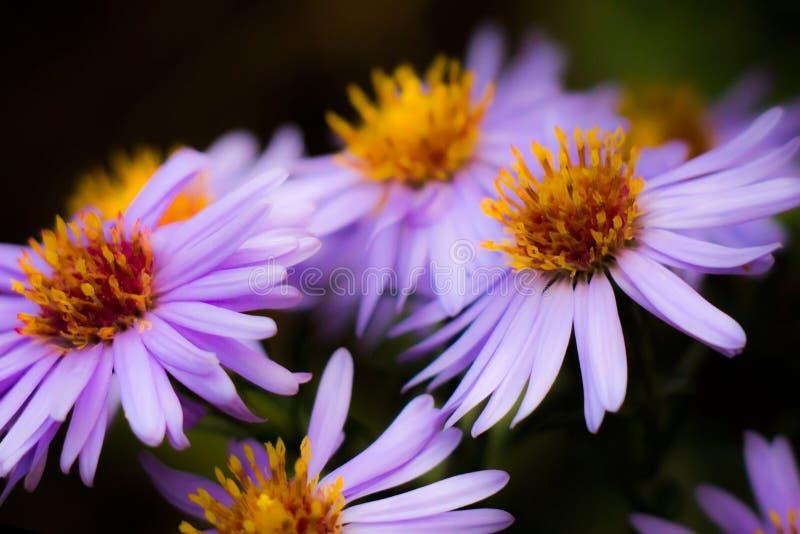 purpura tusenskönor royaltyfri foto