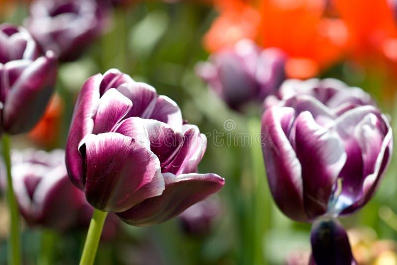 purpura vita fjädertulpan för blommas blommor arkivfoton