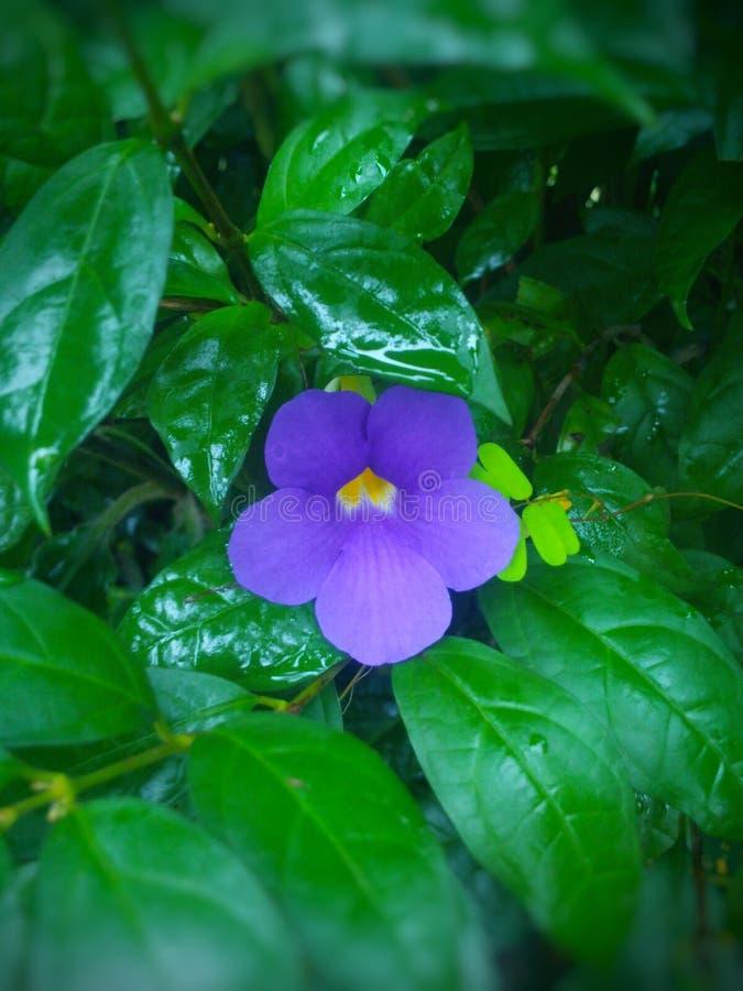 purpurartig lizenzfreies stockfoto