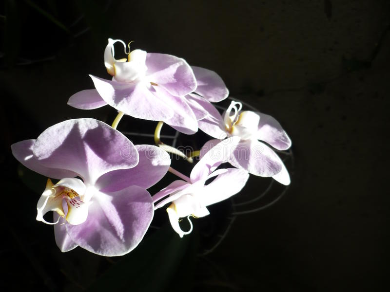 Purpure small orchid. Puroure small orchid illuminated with natural light on dark background royalty free stock images