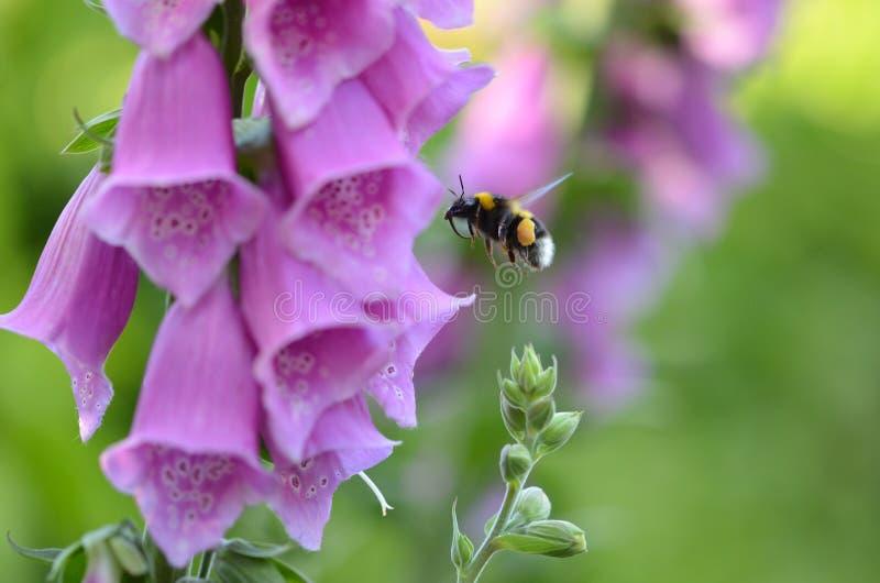 Purpurea наперстянки Foxglove стоковая фотография