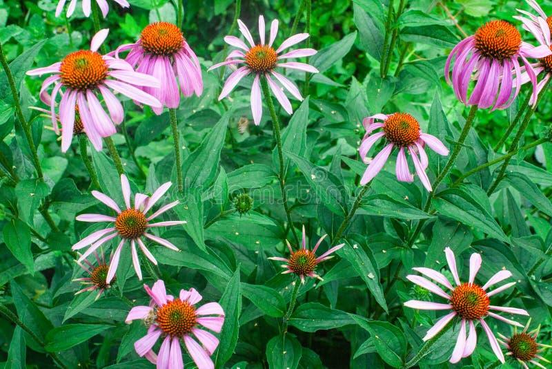 Purpurea эхинацеи или трава фиолетового coneflower целебная, зацветая поднимающий вверх цветка близкий, красочный и яркий завод,  стоковое фото rf