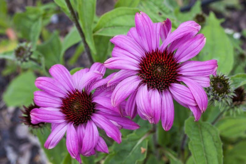 """Purpurea """"великолепие эхинацеи прерии """" стоковое фото rf"""