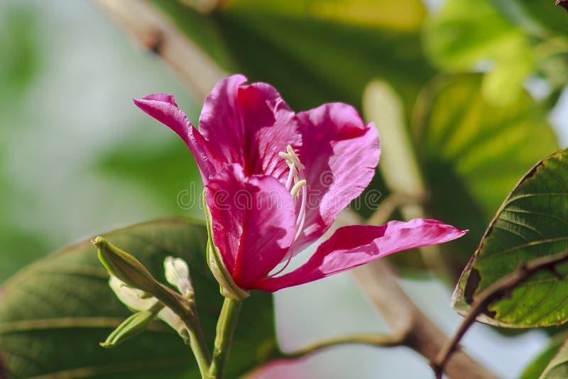 Purpurea Bauhinia розово в природе, зацветая красиво стоковое изображение