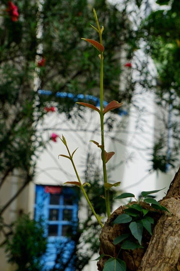 Purpurea Bauhinia στοκ φωτογραφία